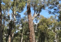 Giant Redgum